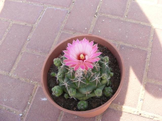 cactus sui generis